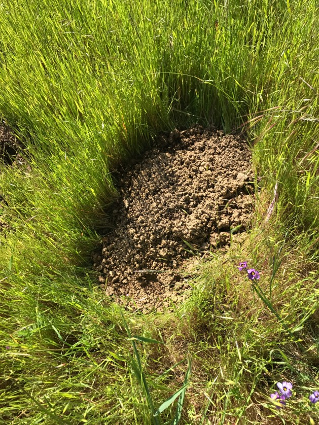 Gopher dirt pile