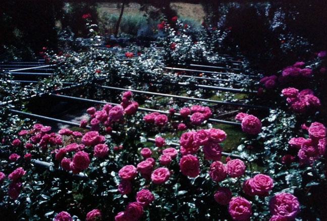 Roses Imagination