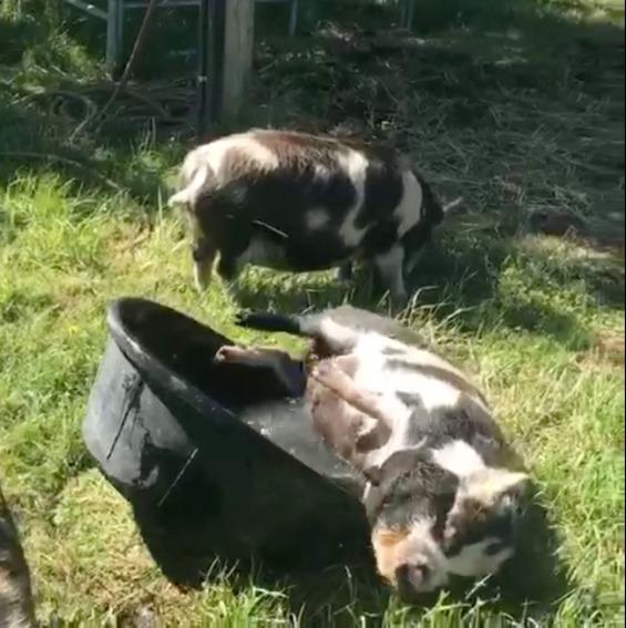 Pig 6.01.43 AM