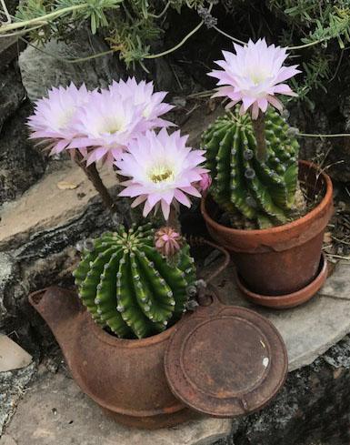 Cactus IMG_4516